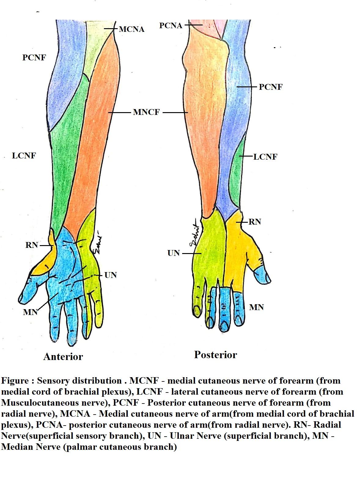 sensory distribution